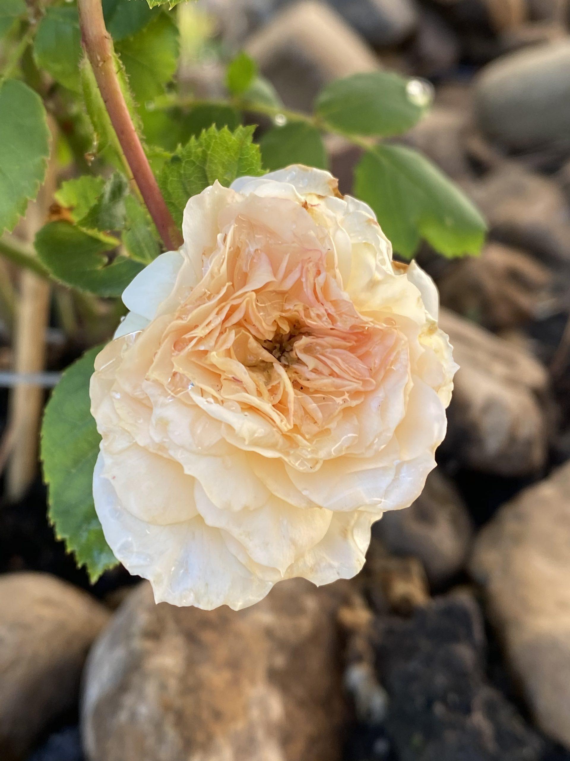 Rose blog image